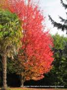 sugar maple garden